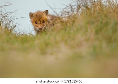 un renard rouge dans les dunes