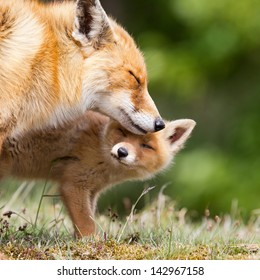 Red fox cub and mother.