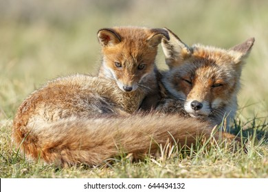 Red fox cub and mother in a iintimate moment and cuddle