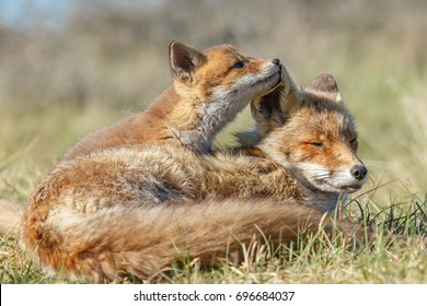 Red fox cub in nature and mother fox