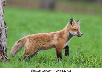 red fox cub playing in spring