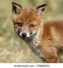 Red fox cub portrait front