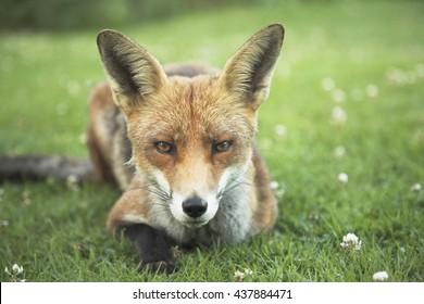 Red fox cub relaxing in garden