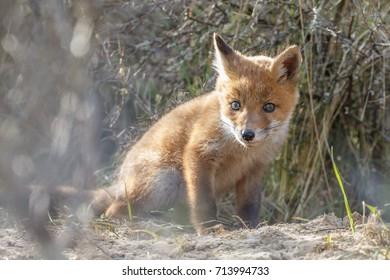 Red fox cub in springtime