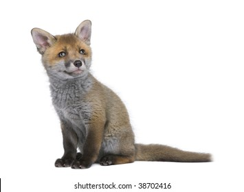 Red fox cub, Vulpes vulpes, 6 weeks old, sitting in front of white background, studio shot