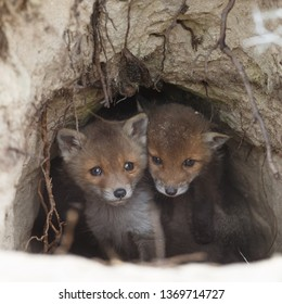 Red fox cubs first time out of the den