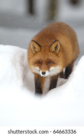 Red fox in the deep snow