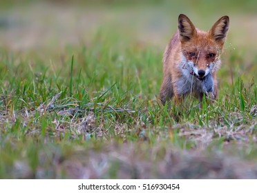 Red fox devouring its prey (vole) in the grass in the twilight