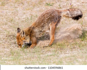 Red fox digs its den in the dunes