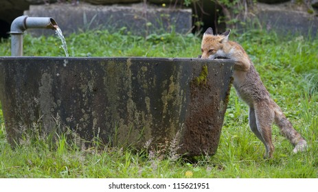 Red Fox is drinking water from fountain