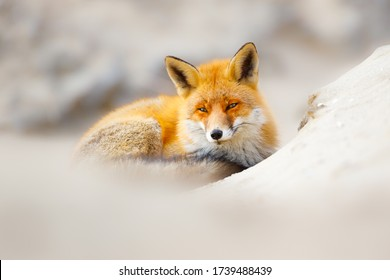 renard rouge dans les dunes