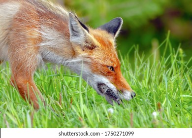 red fox during the molting period carries food in its mouth for its young, a Fox caught a mouse and carries it in its mouth close-up