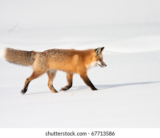 Red fox during winter