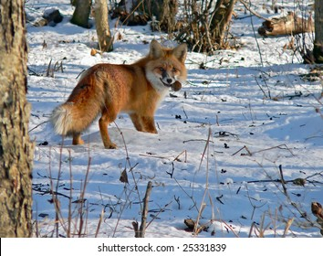 The red fox is eating a big mouse among a snowy glade.