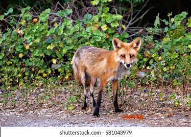Red Fox eating cat food in woods