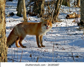 The red fox is eating a mouse.