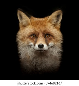 red fox face isolated on black background