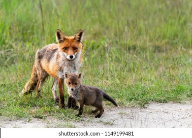 Red Fox, Fahe with Puppies