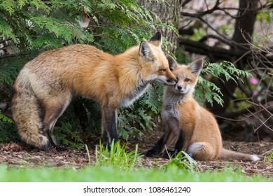 red fox female with baby