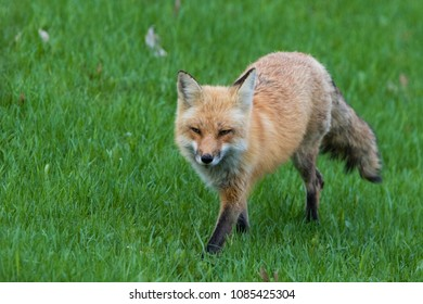 red fox female hunting in spring