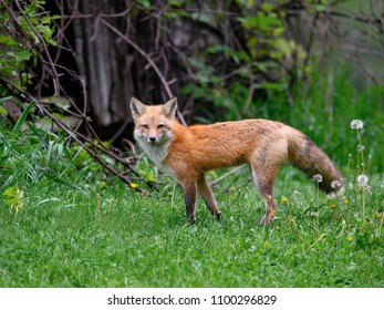Red Fox Female Vixen Portrait on Green Grass in Spring