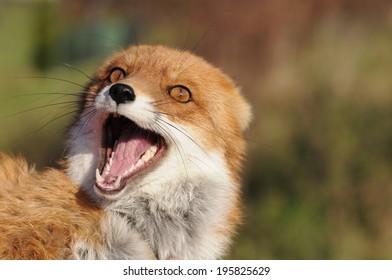 Red fox female (Vulpes vulpes)