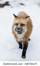 red fox with field mouse in its mouth