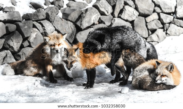 red fox fight with another for mating in winter season among snow