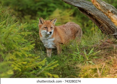 red fox at the forest