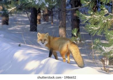 red fox in golden light 5