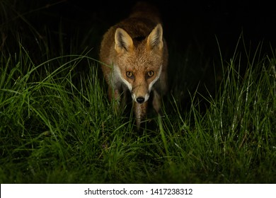 Red Fox in grass at night with black background.