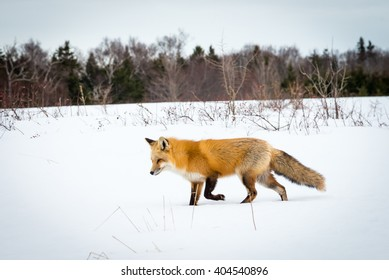 Red fox hunting for mice in the snow.