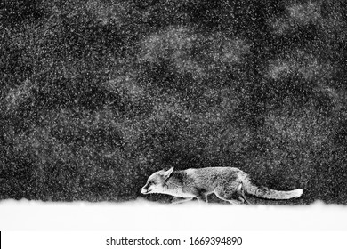 Red Fox hunting, Vulpes vulpes, wildlife scene from Europe. Black and white art photo. Orange fur coat animal in the nature habitat. Fox on the winter forest meadow, with white snow.
