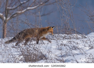 Red fox hunting in winter