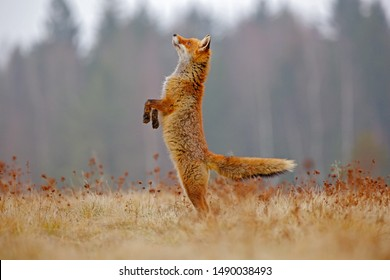 Red Fox jump hunting, Vulpes vulpes, wildlife scene from Europe. Orange fur coat animal in the nature habitat. Fox on the green forest meadow. Funny image from nature.