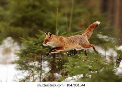 red fox in the jump at snowy forest
