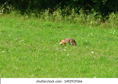 red fox jumping and hunting for mouse on a field
