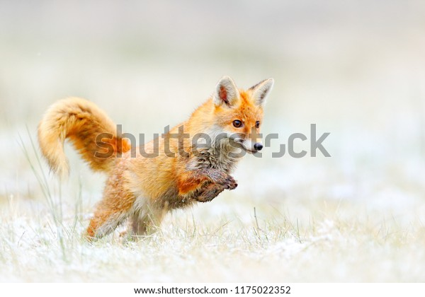Red Fox jumping, Vulpes vulpes, wildlife scene from Europe. Orange fur coat animal hunting in the nature habitat. Fox jump on the green forest meadow with first snow. Wildlife scene from nature.