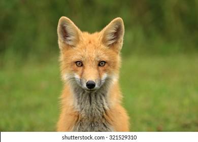 Red Fox Kit Head Portrait, PEI, Canada