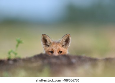 Red fox kit. Little fox peeking,