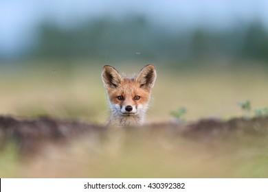 Red fox kit. Red fox puppy. Juvenile red fox. Red fox pup. Red fox cub.