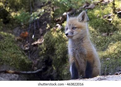 A red fox kit sitting on a hillsiDe