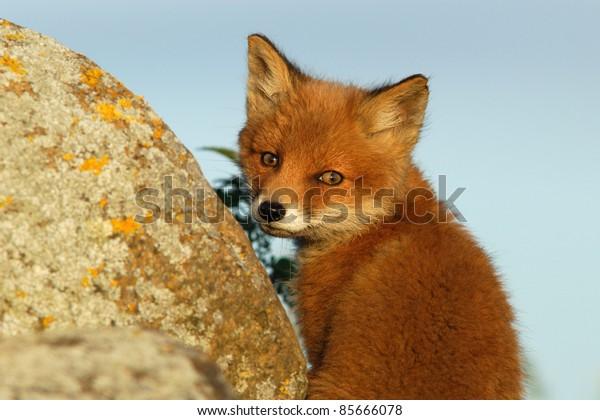 Red fox kit at sunset