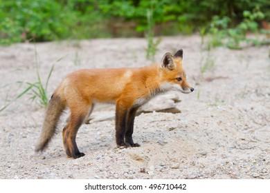 Red fox kit (Vulpes vulpes) in Algonquin Park in autumn