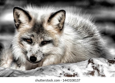 The red fox is the largest of the true foxes and one of the most widely distributed members of the order Carnivora, being present across the entire Northern Hemisphere from the Arctic Circle to North