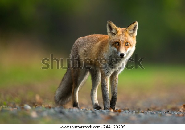 Red Fox is largest of the true foxes, has the greatest geographic range of all members of the Carnivora order.The species has a long history of association with humans.