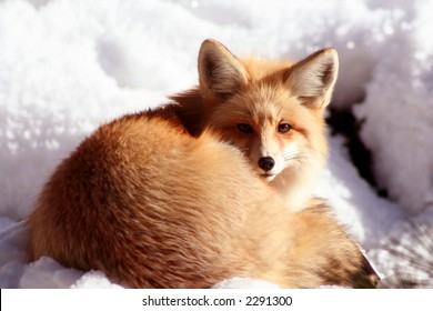 Red Fox laying in the sun on cold winter day