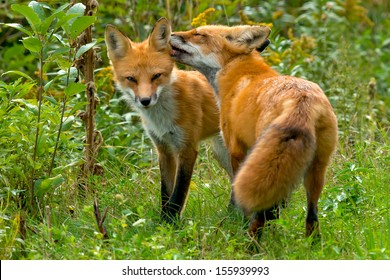 A Red Fox is licking the ear of it's mate at the edge of the brush. Rosetta McClain Gardens, Toronto, Ontario, Canada.