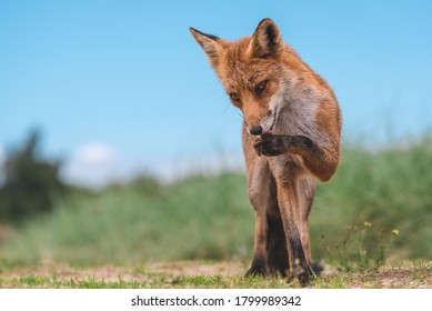 Red fox licks its paws