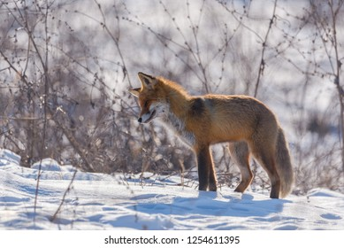 Red fox listening, trying to hunt rodents in snow